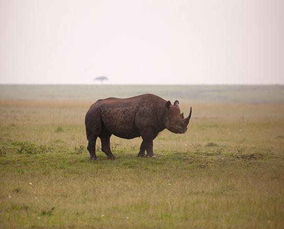 An African Black Rhino Diceros bicornis, poached for their horn © Richard Edwards / WWF-UK