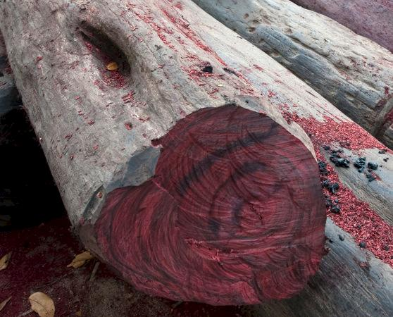 Rosewoods, such as this from Madagascar, are in high demand from markets in Asia © naturepl.com / Nick Garbutt / WWF