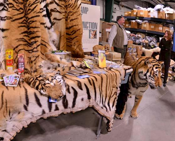 Seized Tiger skins in Chitwan National Park, Nepal © Mark Atkinson / WWF