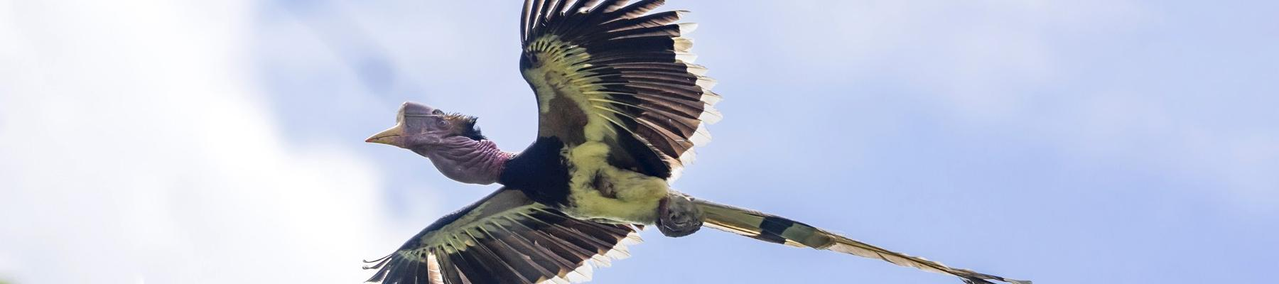 Flying in the face of danger, the Helmeted Hornbill © Muhammad Alzahri