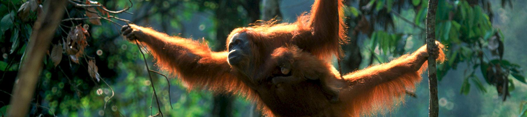 Sumatran Orang utan female swinging through the trees © naturepl.com / Anup Shah / WWF