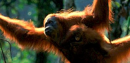 An assessment of trade in gibbons and orang-utans in Sumatra, Indonesia