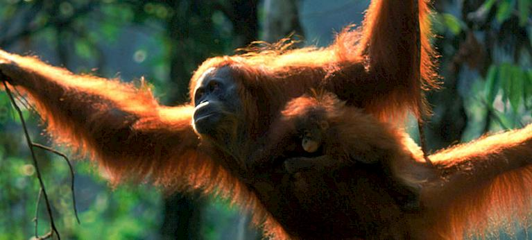 An assessment of trade in gibbons and orang-utans in Sumatra