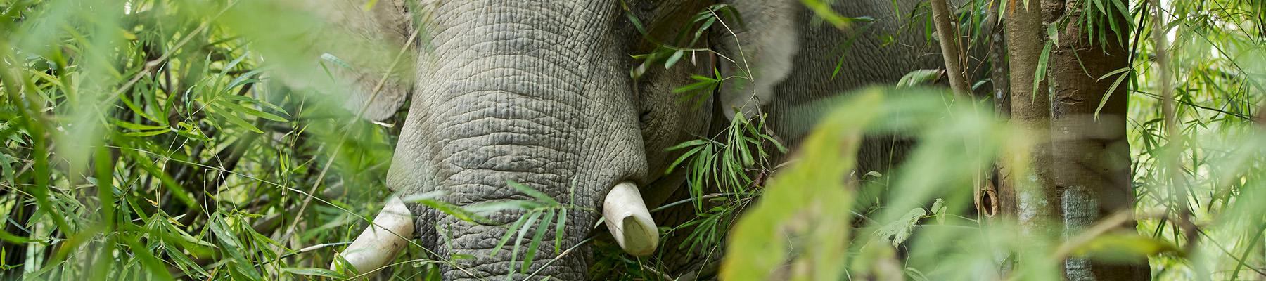 Asian elephant Elephas maximus in the jungle, Myanmar © Julia Thiemann / WWF-Germany