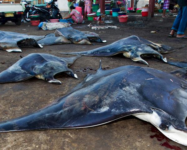 Mobula Japanica rays are lined at the Tanjung Luar fish market, Lombok, Indonesia © Paul Hilton / WWF
