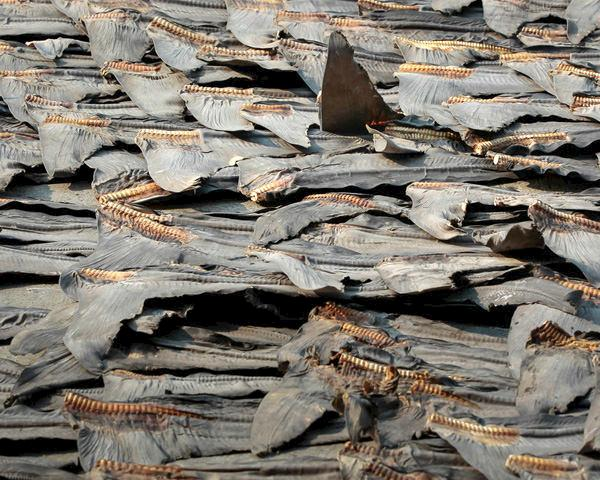 Shark fins during the drying process, Hong Kong © WWF-Hong Kong / Elson Li