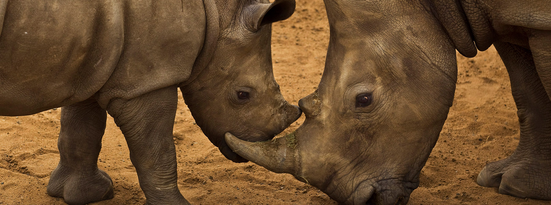 White Rhino and her calf, South Africa © Brent Stirton / Getty Images / WWF-UK