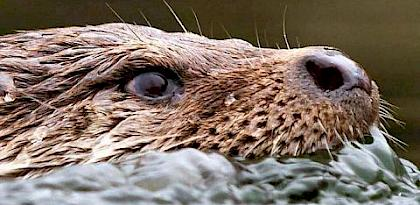 Illegal otter trade in Southeast Asia