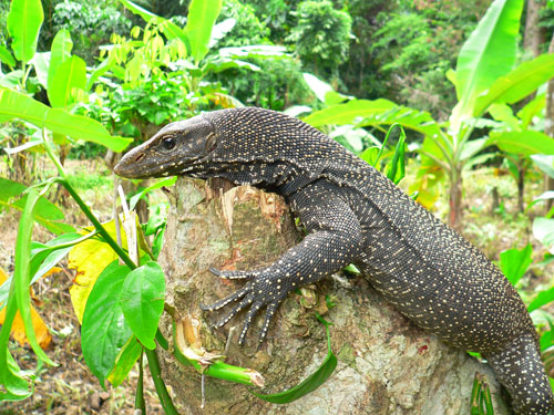 Clouded and Dumeril's Monitor Lizards seized in Malaysia