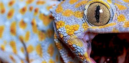 Adding up the numbers: An investigation into commercial breeding of Tokay Geckos in Indonesia