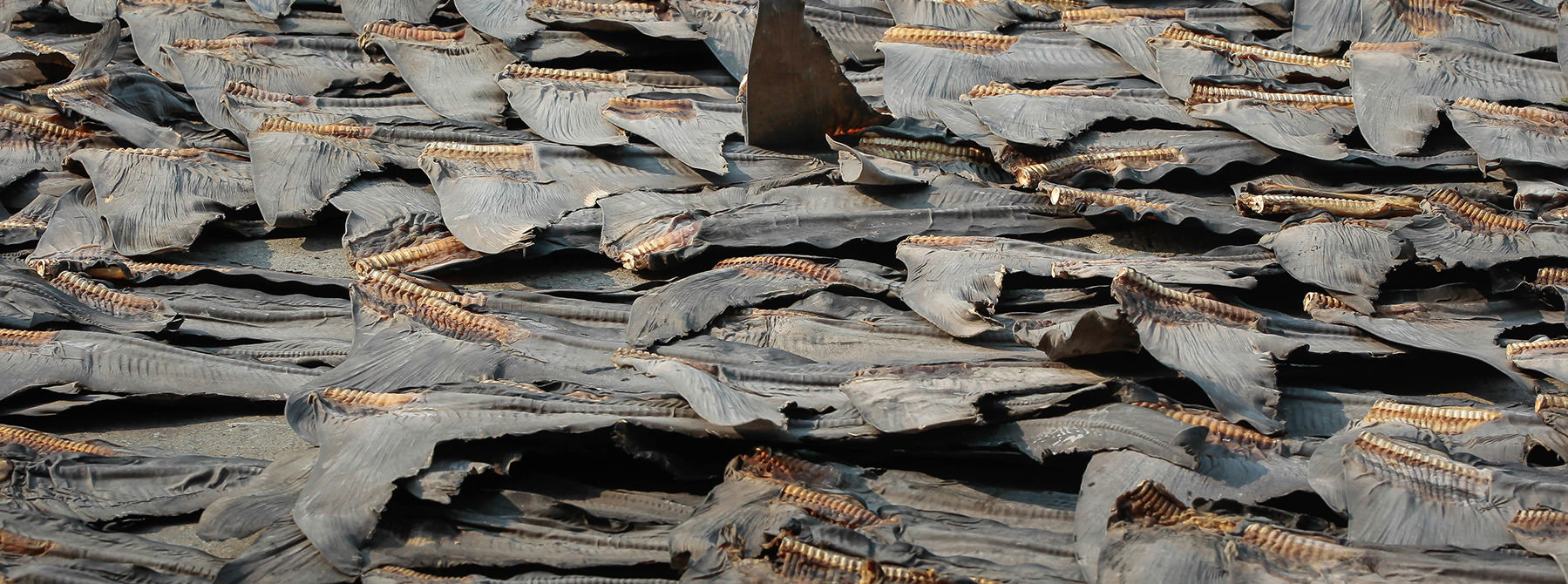 Shark fins with skin during the drying process, taken in Hong Kong © WWF-Hong Kong / Elson Li