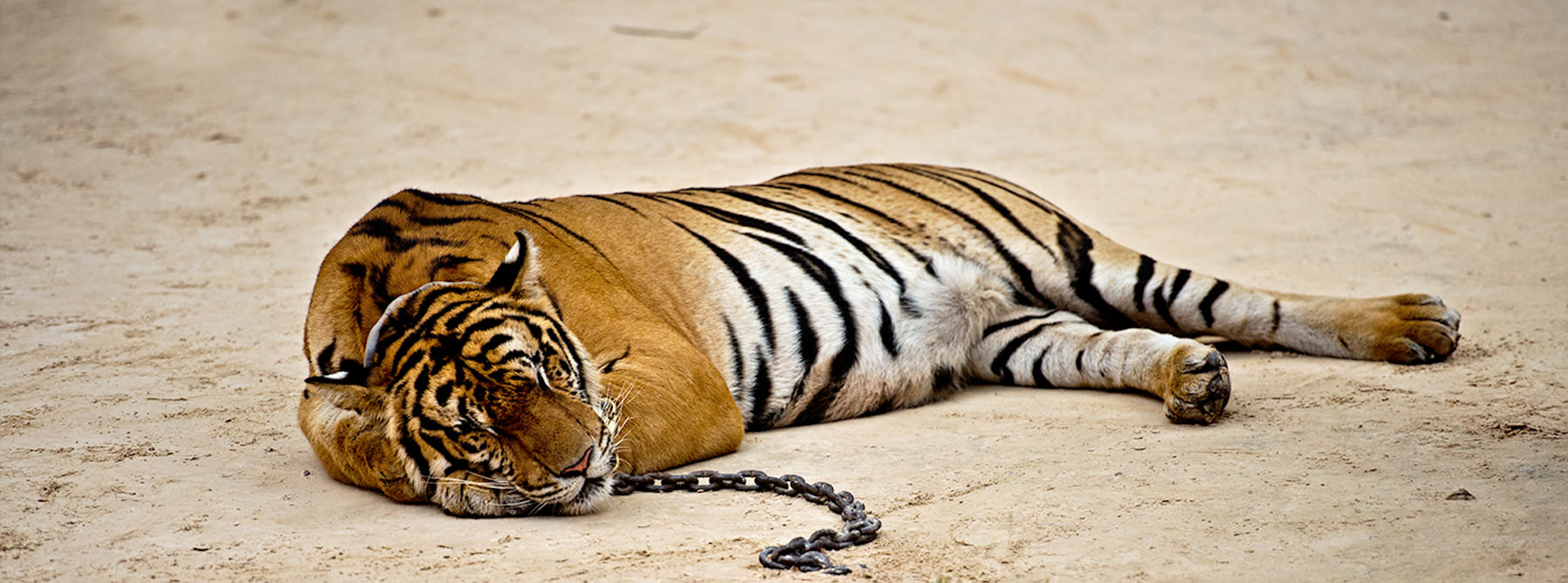 A captive Tiger Panthera tigris © James Morgan / WWF