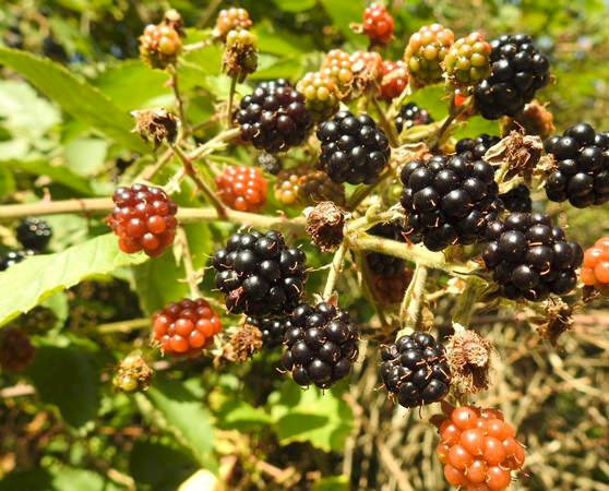 Wild blackberries © Kirsten Palme / TRAFFIC