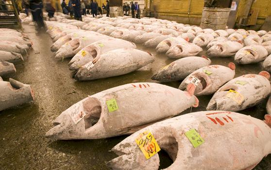 Frozen tunas for auction at the Tsukiji fish market, Tokyo, Japan © Michel Gunther / WWF
