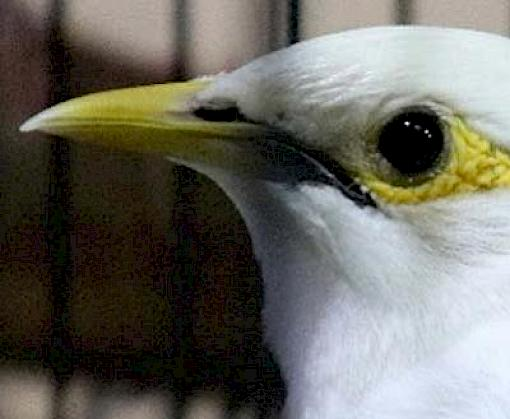 Arrests in Kalimantan and Sabah for dealing in protected bird species