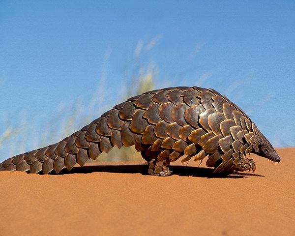 A Ground Pangolin, a species regularly trafficked from Africa © Photoshot License Ltd / Alamy Stock Photo